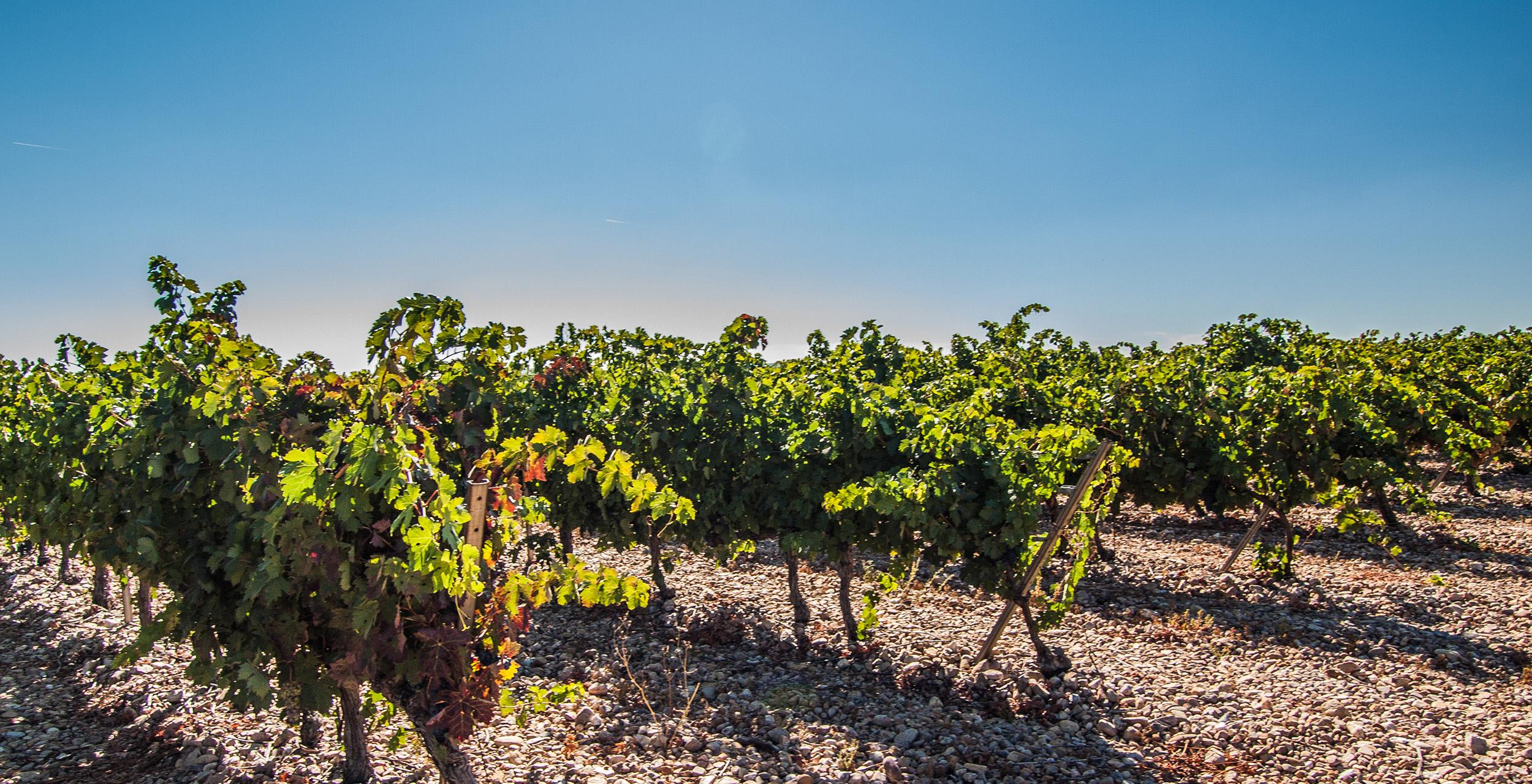Viñas-bodega-la-milagrosa