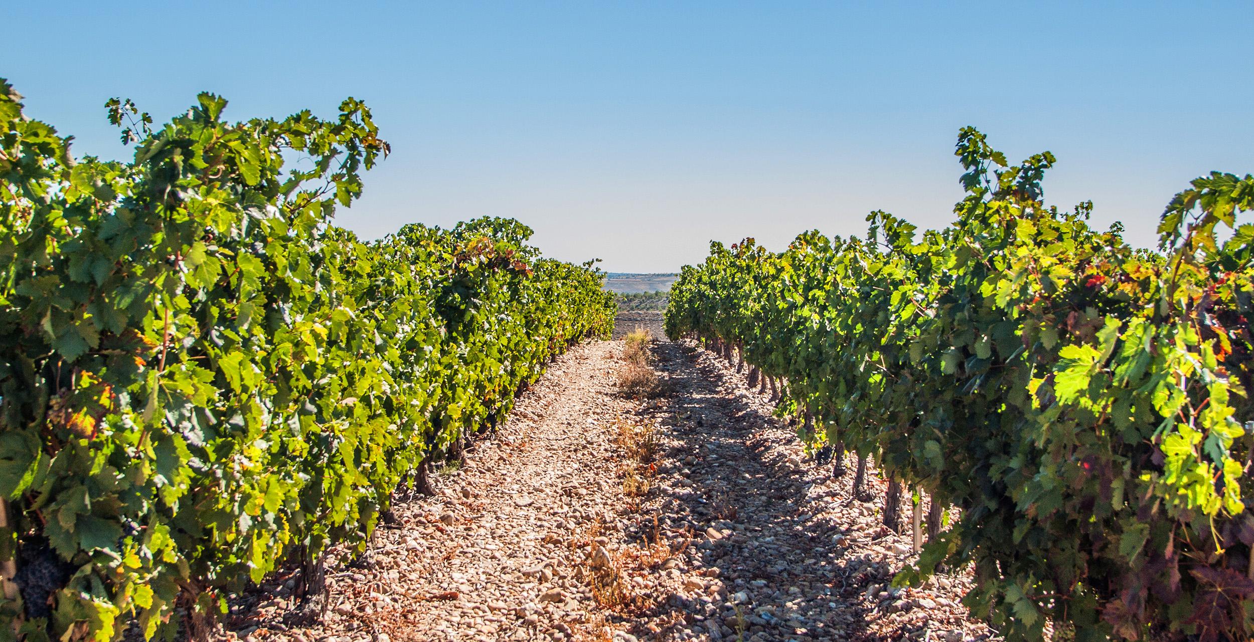 Viñas-bodega-la-milagrosa-2